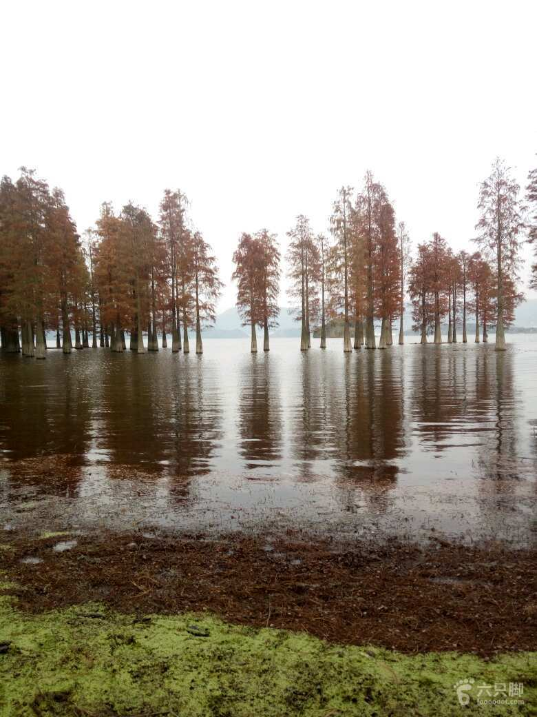 四明湖红杉林水杉图片