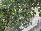 大榕树枝干离河面过近,影响施工,需剪枝修整。