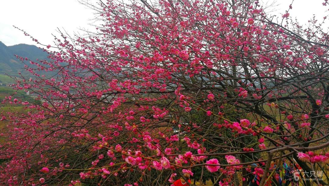 2018-02-25 奉化新建村梅花5