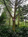 63南方红豆杉