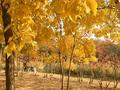 脚印-3 沿途金黄的树叶