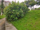整个山包,红叶石楠丛状最宽340,12红叶石楠胸径8,冠幅130,17茶梅,冠幅110,4桂花,冠幅500胸径18