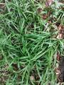 地被植物,吉祥草