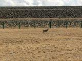 可可西里藏羚羊