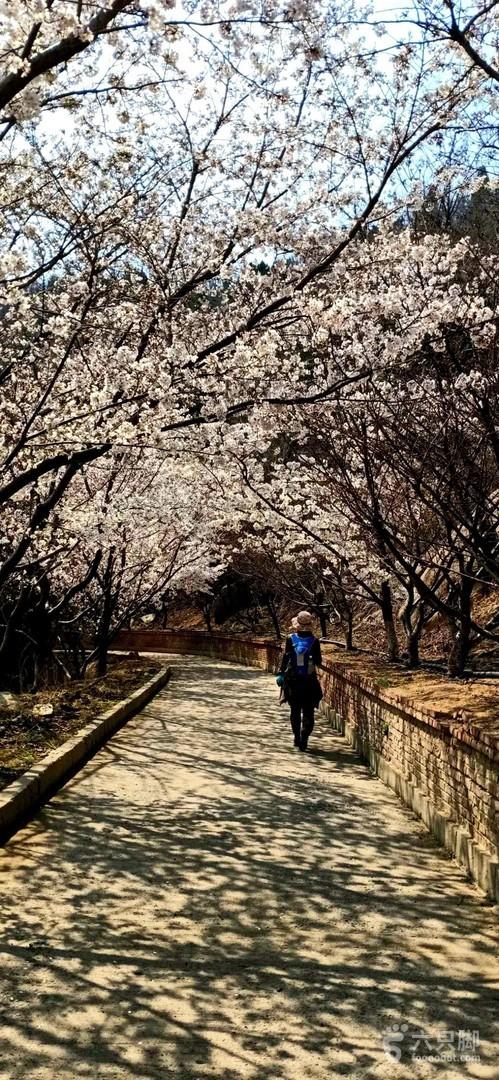樱花南门--西域--磨合---披肩山-----樱花山1